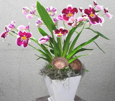 Sunrise of the Miltonia orchid