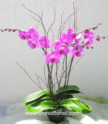 Sharp Desire Orchid