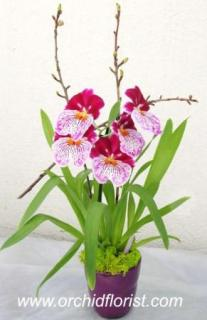 Scense of Wonder Orchid