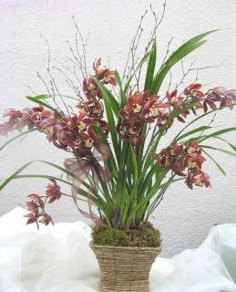 Cymbidium Galore Orchid